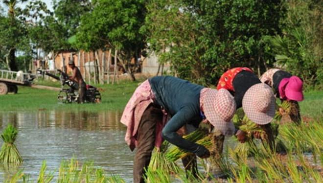 67% gạo xuất khẩu của Campuchia vào thị trường châu Âu; 11% vào châu Á và 27% đến các thị trường khác - Ảnh: Khmer Times.