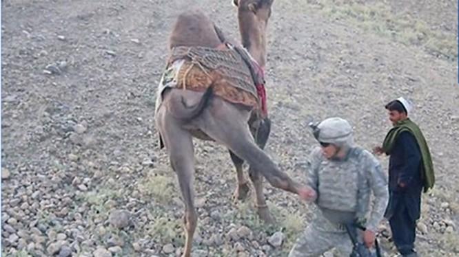 Lính Mỹ chưa kịp sờ đã bị lạc đà tung một chưởng - Ảnh chụp từ clip