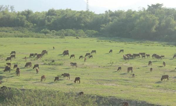 Hàng ngàn con bò ở xã Điện Quang được tham gia bảo hiểm- Ảnh: Lê Đình Dũng