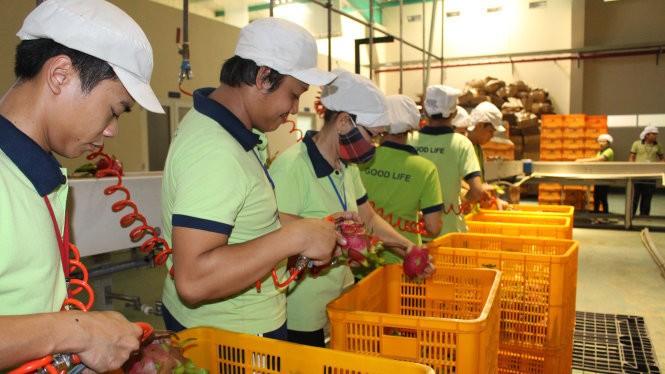 Sơ chế thanh long xuất khẩu đi Nhật tại Công ty Good Life (Khu nông nghiệp công nghệ cao TP.HCM) - Ảnh: Trần Mạnh