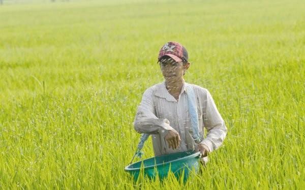 Bón phân cho lúa tại ĐBSCL. Ảnh: LÊ HOÀNG VŨ