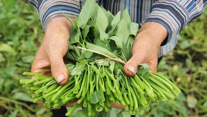 Theo Giám đốc sở Nông nghiệp và Phát triển Nông thôn Hà Nội, trong số 60% rau cung ứng sản xuất trên địa bàn thành phố Hà Nội cung ứng cho người dân thì có tới 95-98% là rau an toàn. Ảnh: Ngọc Lan.