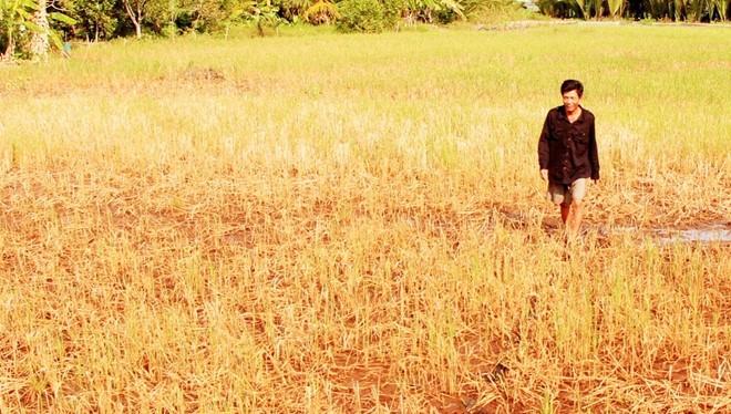 Lúa đã chết nhiều ở đồng bằng sông Cửu Long Ảnh: V.T.