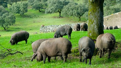 Trong trang trại rộng 1.700 mẫu Anh (gần 7 km2), Juan Carlo, người chăn gia súc thâm niên 25 năm bận rộn với 340 con lợn. Những con lợn sẽ được vỗ béo trước khi bị giết mổ, xẻ thịt và trở thành một trong những món thịt hun khói đắt nhất thế giới. Một lát
