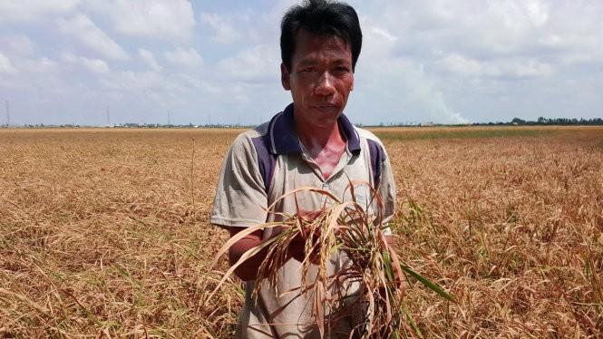 Ông Trương Văn Quý (huyện Vĩnh Thuận, Kiên Giang) trên ruộng lúa rộng 0,5ha lép hạt - Ảnh: K.Nam