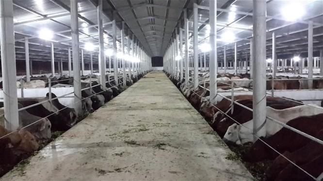 Bò Úc được nhập về và vỗ béo trước khi phân phối ra thị trường tại trang trại của công ty cổ phần Kết Phát Thịnh ở Nghệ An. Ảnh: TL
