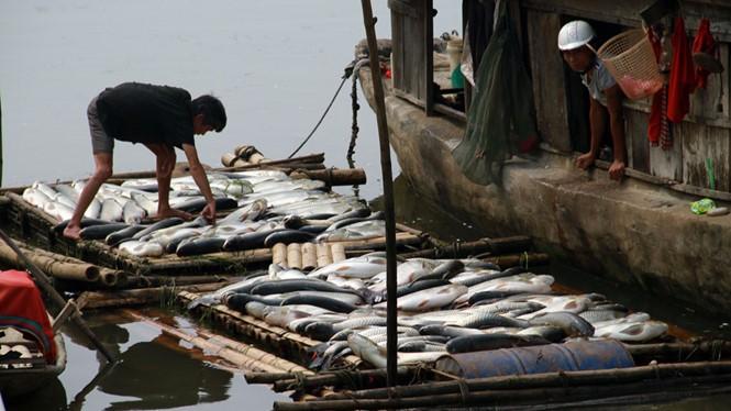 Cá lồng chết hàng loạt vì nước sông Bưởi bị ô nhiễm.Ảnh: Ngọc Minh