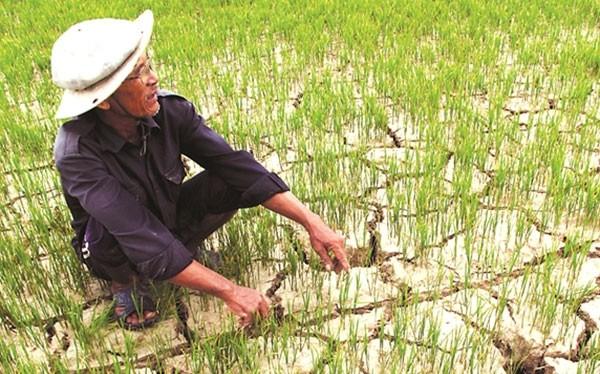 Hạn mặn ước kéo giảm sản lượng lúa tới 824.000 tấn