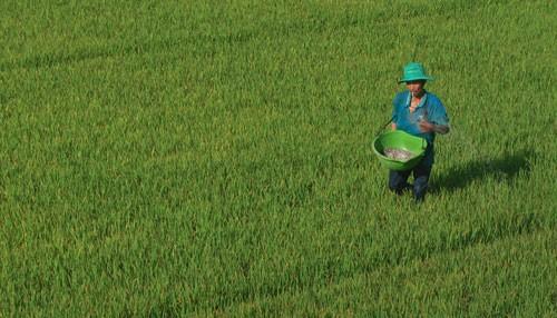 Nông dân tỉnh An Giang bón phân cho lúa Ảnh: THỐT NỐT