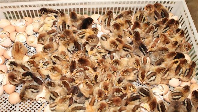 Cục Thú y – Bộ NNPTNT khẳng định: Không đề xuất nhập khẩu gà từ Trung Quốc