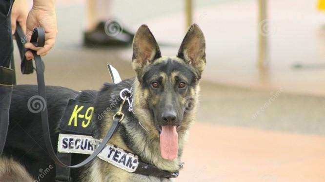"""Lực lượng An ninh Mỹ liên tục đưa đội chó nghiệp vụ """"sục sạo"""" kiểm tra tại mọi ngóc ngách của sân bay Nội Bài"""
