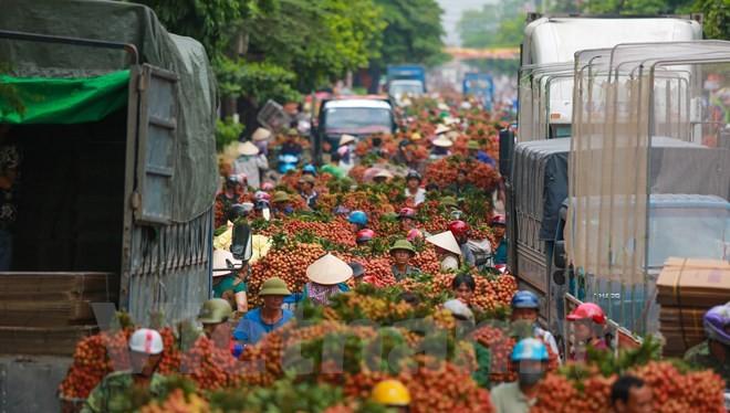 Với sản lượng ước đạt trên 130.000 tấn, mùa vải năm nay tại Bắc Giang giảm hơn so với cùng kỳ năm ngoái. (Ảnh: Minh Sơn/Vietnam+)