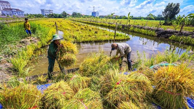 Thu hoạch lúa ở Hậu Giang. Ảnh: Lý Anh Lam