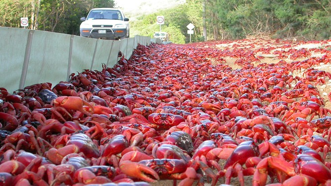 Người dân đảo Giáng sinh xây dựng một tuyến đường riêng để bảo vệ loài cua đỏ. Nguồn: Christmas
