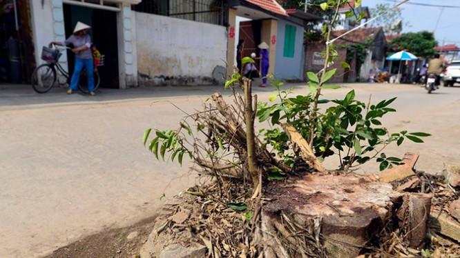 Nhiều cây xanh có đường kính gốc lên đến 50cm cũng bị đốn hạ tại xã Cẩm Yên, Thạch Thất vừa qua.