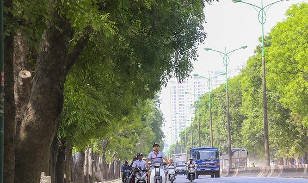 Ông Nguyễn Đức Chung lo ngại tìm chỗ trồng lại những cây xà cư sau khi di chuyển, chăm sóc.