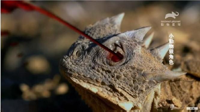 Loài thằn lằn có khả năng phun máu để tự vệ (Ảnh: Animal Planet/YouTube)