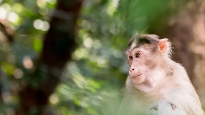 Trung Quốc báo cáo người đầu tiên tử vong do virus Monkey B hiếm gặp (Ảnh: Washington Post)