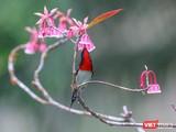 Hoa đào chuông trên đỉnh Bà Nà khoe sắc xuân