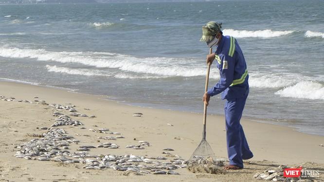 Lực lượng công nhân đã thu gom được hơn 1,5 tấn cá chết trôi dạt vào bờ biển dọc đường Nguyễn Tất Thành-TP Đà Nẵng