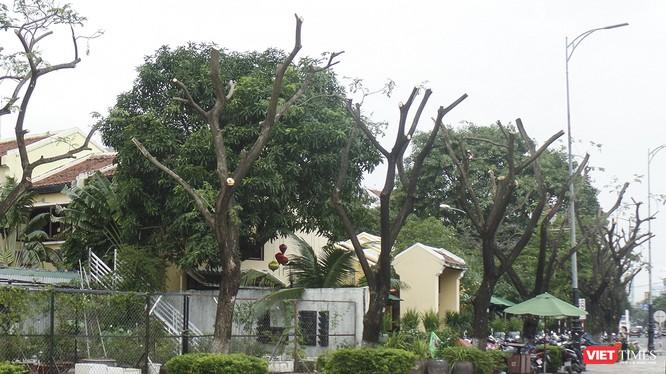 Cây xanh trên vỉa hè tuyến đường Bạch Đằng (quận Hải Châu), đoạn trước nhà hàng Madam Lan bị cắt tỉa trơ thân