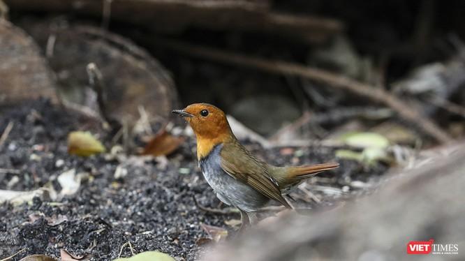 Oanh mặt đỏ Nhật Bản, một loài di cư hiếm thấy vừa xuất hiện tại Sơn Trà trong mùa chim di cư năm 2019 sau lần ghi nhận tại Việt Nam hơn 20 năm