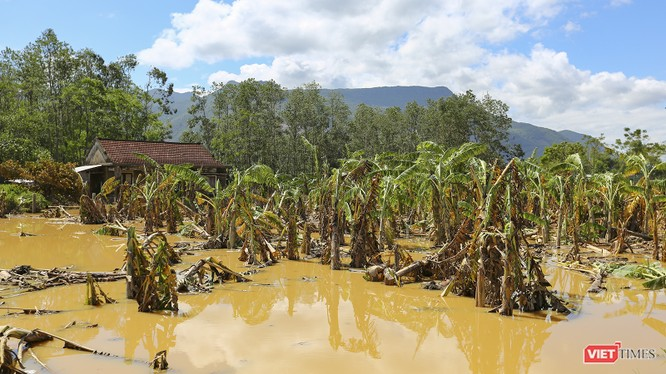 Hoa màu của nông dân miền Trung bị lũ nhấn chìm, làm hư hại