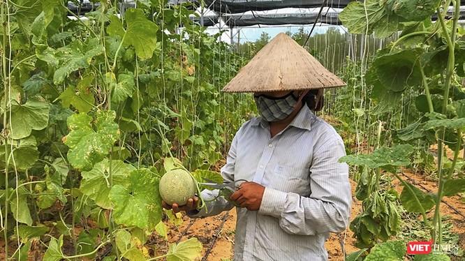 Nông dân Đà Nẵng trồng dưa lưới bằng kỹ thuật canh tác mới (ảnh H.H)