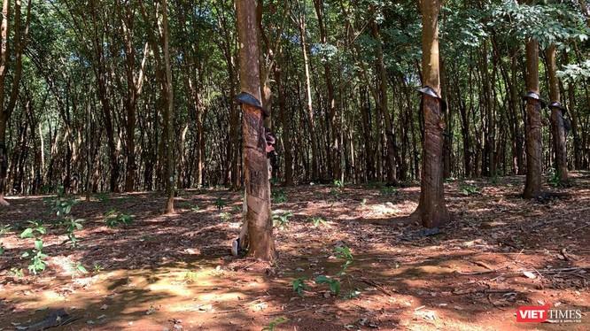 Rừng cao su Việt Nam (Ảnh: Thanh Hằng)
