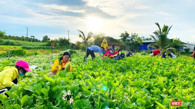 Rau Đắk Lắk được thu hái tặng TP HCM