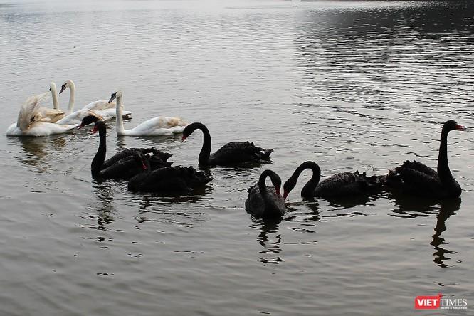 Người dân Thủ đô thích thú ngắm đàn thiên nga 12 con được thả nuôi ở Hồ Gươm ảnh 5