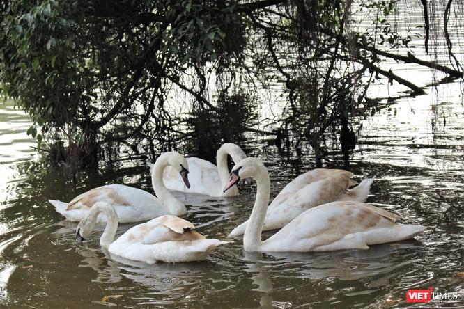 Người dân Thủ đô thích thú ngắm đàn thiên nga 12 con được thả nuôi ở Hồ Gươm ảnh 6