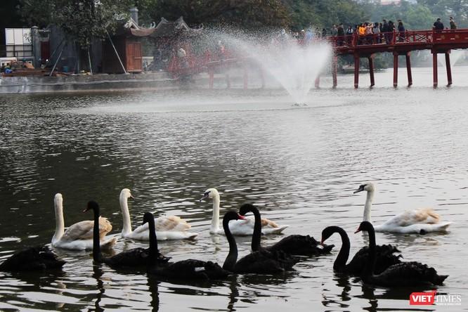 Người dân Thủ đô thích thú ngắm đàn thiên nga 12 con được thả nuôi ở Hồ Gươm ảnh 7