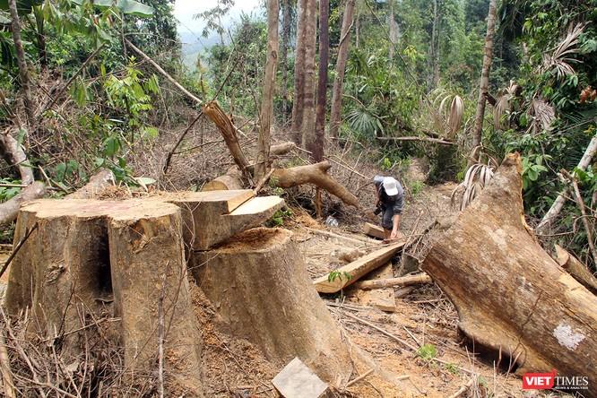 Rừng phòng hộ sông Kôn bị tàn phá nghiêm trọng, những thân cây cổ thụ lớn 2 người ôm bị đốn hạ không thương tiếc