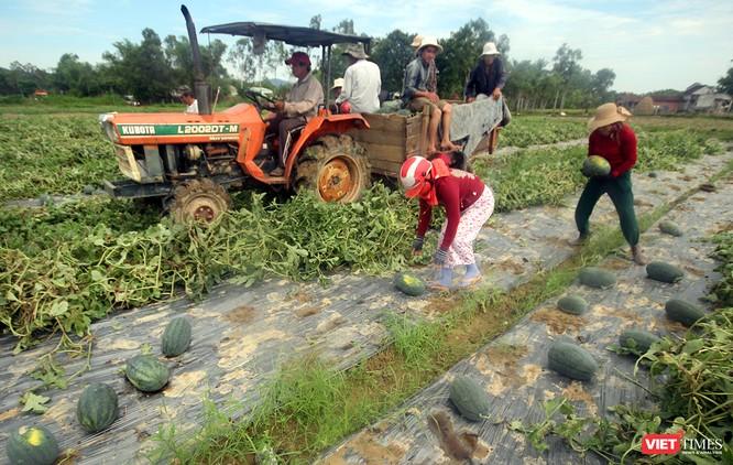 """Quảng Nam: """"Hắc Mỹ Nhân"""" chín đầy đồng, người trồng dưa đứng ngồi không yên ảnh 3"""