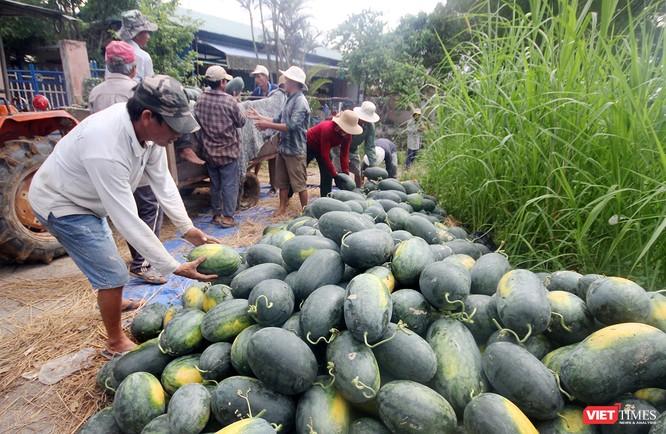 """Quảng Nam: """"Hắc Mỹ Nhân"""" chín đầy đồng, người trồng dưa đứng ngồi không yên ảnh 4"""