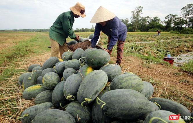 """Quảng Nam: """"Hắc Mỹ Nhân"""" chín đầy đồng, người trồng dưa đứng ngồi không yên ảnh 5"""