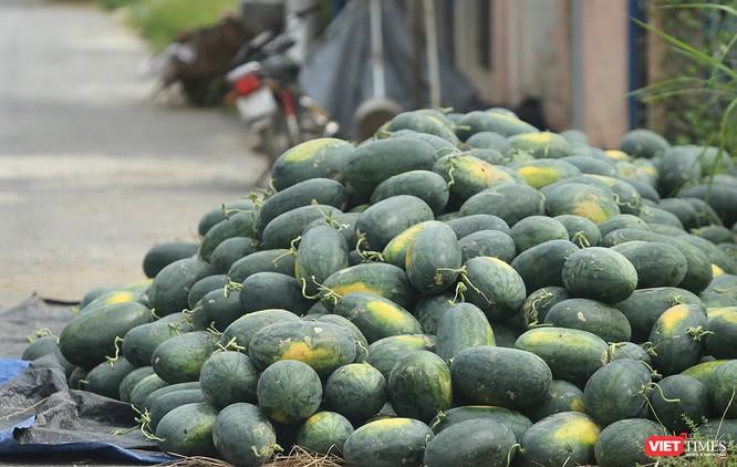 """Quảng Nam: """"Hắc Mỹ Nhân"""" chín đầy đồng, người trồng dưa đứng ngồi không yên ảnh 7"""