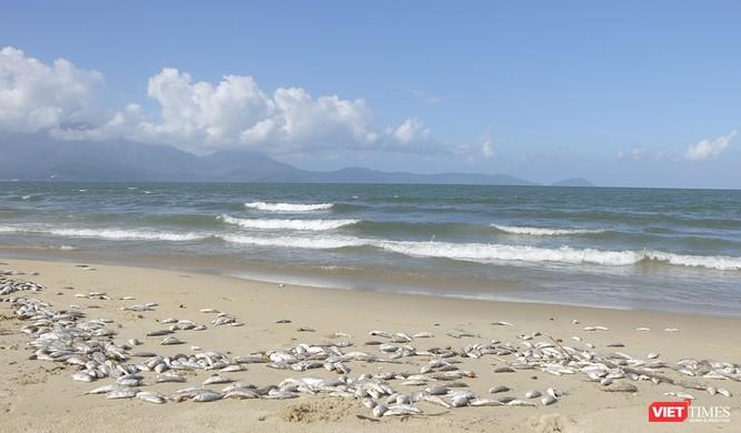 Đà Nẵng: Vẫn chưa rõ nguyên nhân cá chết hàng loạt, dạt vào bờ biển ảnh 5