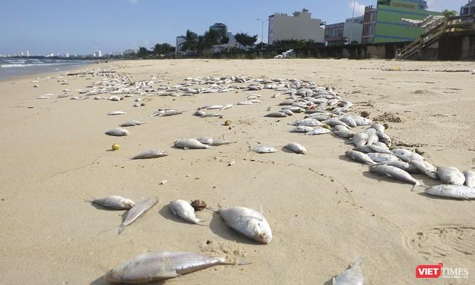 Đà Nẵng: Vẫn chưa rõ nguyên nhân cá chết hàng loạt, dạt vào bờ biển ảnh 6