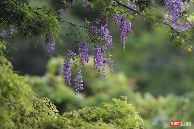 """Ảnh: Vẻ đẹp """"lặng người"""" của Sơn Trà vào những mùa hoa ảnh 22"""