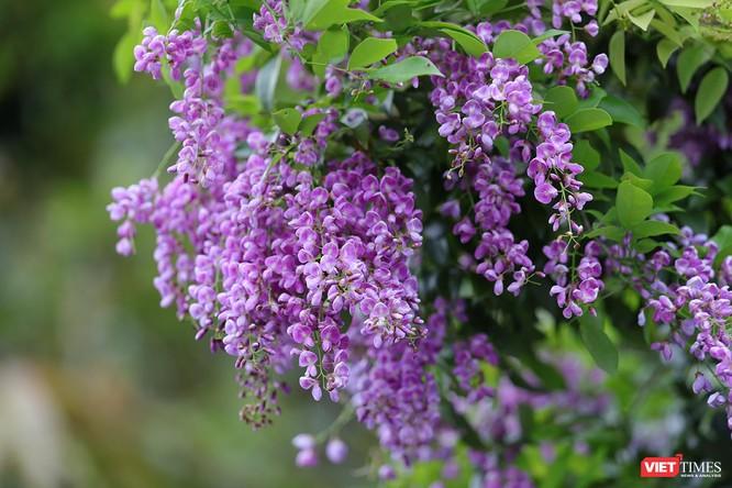 """Ảnh: Vẻ đẹp """"lặng người"""" của Sơn Trà vào những mùa hoa ảnh 21"""