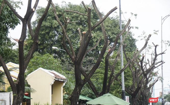 """Đà Nẵng: Tỉa """"trụi"""" cây xanh để… chống bão và ra tán đẹp hơn! ảnh 1"""