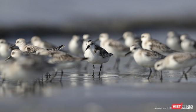 """Chùm ảnh: Những """"siêu mẫu"""" được săn đón ở Sơn Trà vào mùa chim di cư ảnh 12"""