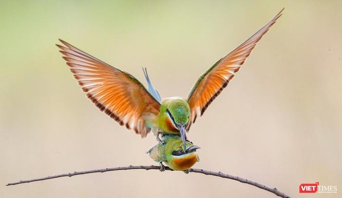 Ảnh: Độc đáo mùa chim trảu ghép đôi giữa lòng Đà Nẵng ảnh 21
