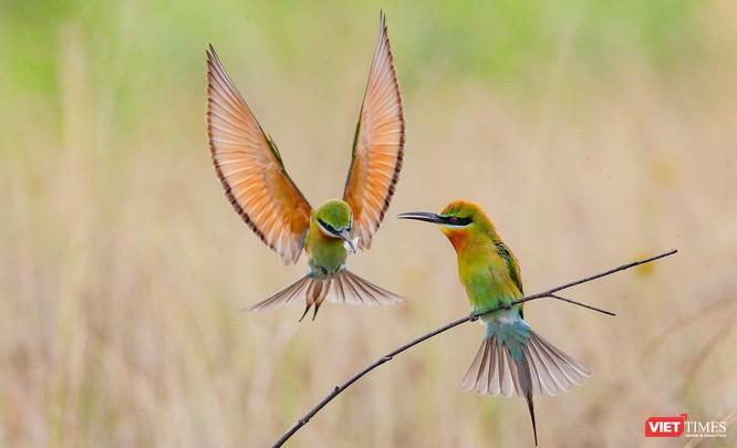 Ảnh: Độc đáo mùa chim trảu ghép đôi giữa lòng Đà Nẵng ảnh 24