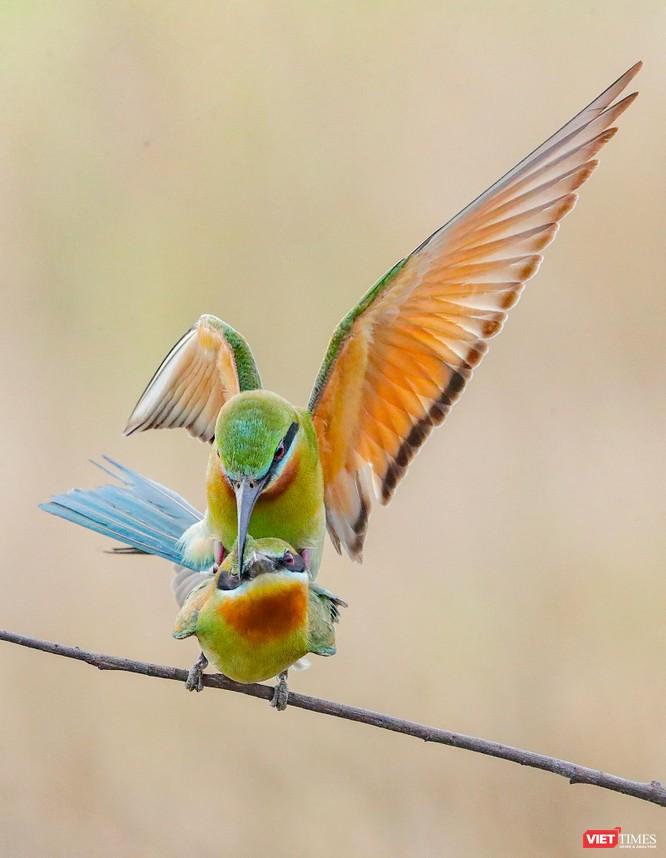Ảnh: Độc đáo mùa chim trảu ghép đôi giữa lòng Đà Nẵng ảnh 15