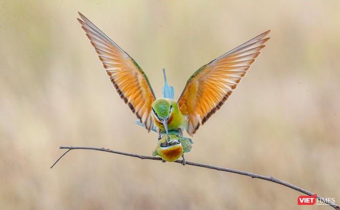 Ảnh: Độc đáo mùa chim trảu ghép đôi giữa lòng Đà Nẵng ảnh 17