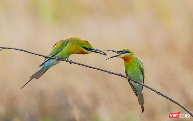 Ảnh: Độc đáo mùa chim trảu ghép đôi giữa lòng Đà Nẵng ảnh 12