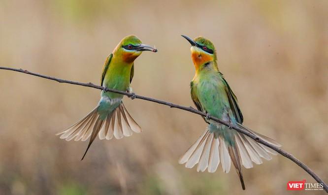 Ảnh: Độc đáo mùa chim trảu ghép đôi giữa lòng Đà Nẵng ảnh 9